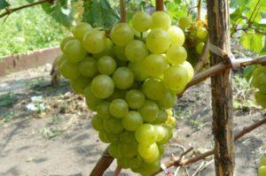Описание винограда сорта Жемчуг, подвиды и технология выращивания