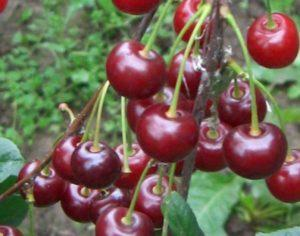 Описание и характеристики вишни сорта Ассоль, тонкости выращивания