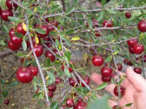 Описание лучших сортов вишни для выращивания в Ленинградской области