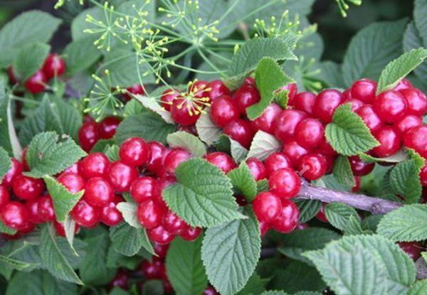 Сорт вишни войлочной