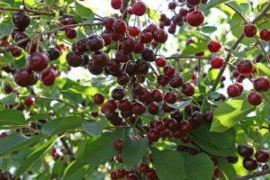 Описание и характеристики сорта вишни Новелла, тонкости выращивания