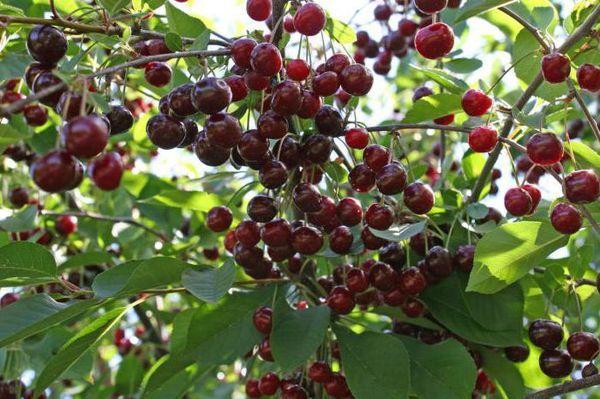 плоды Новеллы