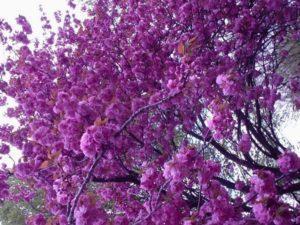 Характеристика вишни мелкопильчатой и лучшие сорта сакуры
