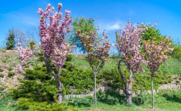 Деревца сакуры