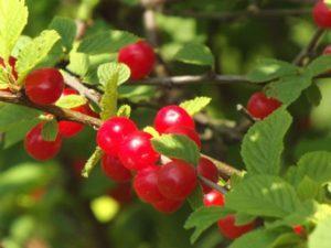 Описание и опылители войлочной вишни сорта Натали, посадка и уход