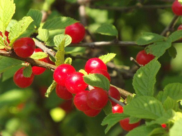 ветка с ягодами