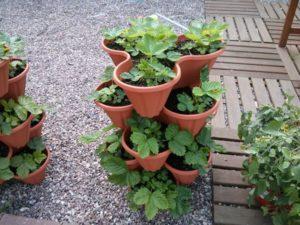 Как можно вырастить клубнику в горшке или кашпо, правила посадки и ухода