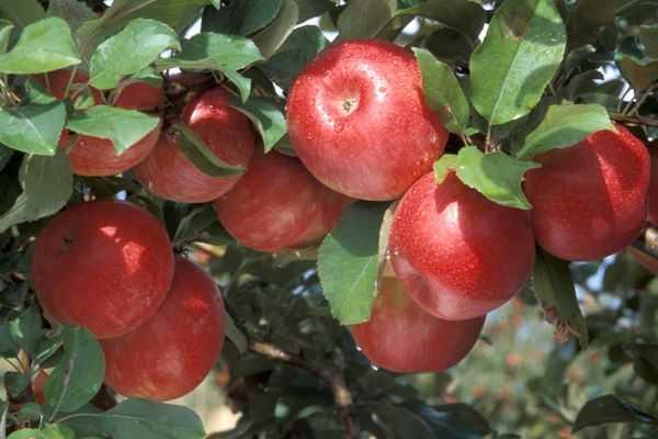 яблони сочные