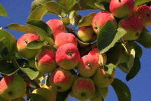Описание и технология выращивания яблони сорта Яблочный спас