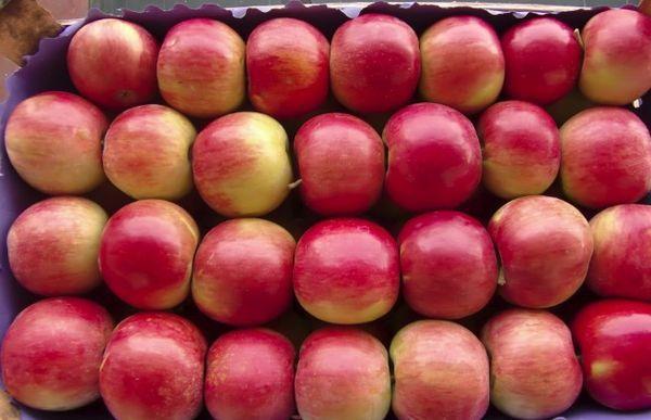 высокоурожайные яблоки