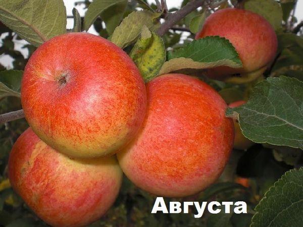 плоды августа
