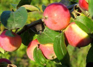 Описание яблони сорта Августа, правила выращивания и ухода