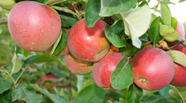 плоды и листья