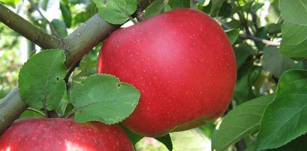 Яблоня штамбовая