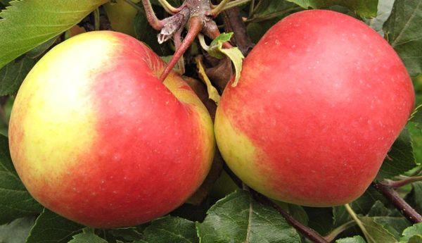 две яблоки