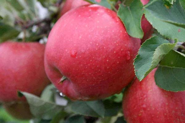 зрелое яблоня