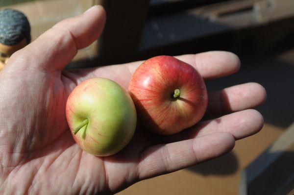яблоки на ладони