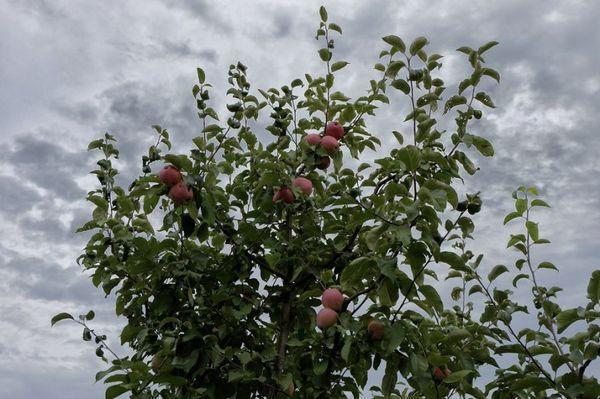 Самоплодность яблони