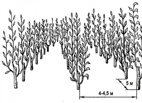 Схема рассадки яблонь