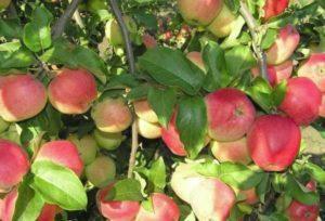 Описание и технология выращивания яблони сорта Кандиль Орловский