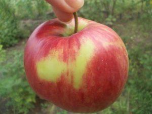 Описание и характеристики сорта яблони Орловим, нюансы выращивания