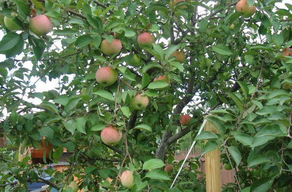 яблоня в Сибири