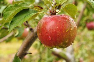 Описание и правила выращивания яблони сорта Серебряное копытце