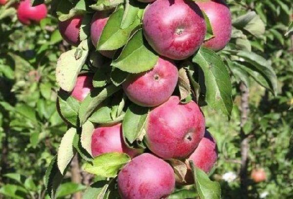 Колоновидные яблоки