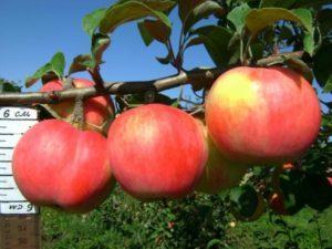 Описание и характеристики яблони сорта Услада, технология выращивания