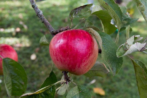 яблоки на подвое
