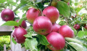 Описание яблони сорта Звездочка и технология выращивания