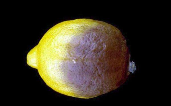 Фитофтороз лимона