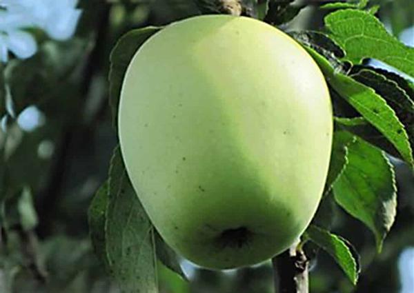 яблоки Аркад