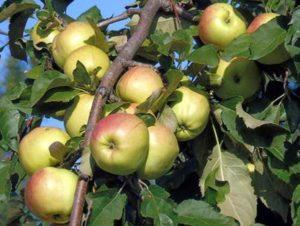 Описание и правила выращивания яблони сорта Братчуд