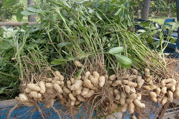 выращивание арахиса в сибири в открытом грунте