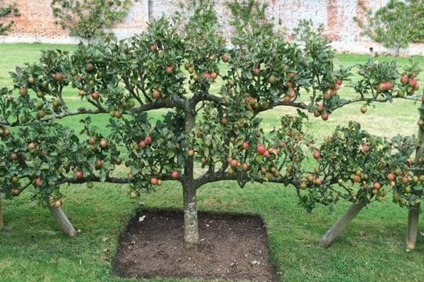 Стелющаяся яблоня