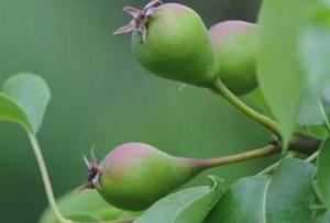 Что делать, если у груши опадают плоды и почему это происходит
