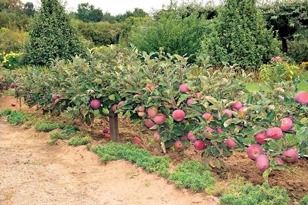 Стелющаяся яблоня зимой
