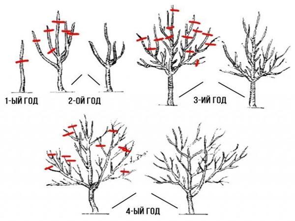 яблоня веньяминовское обрезка