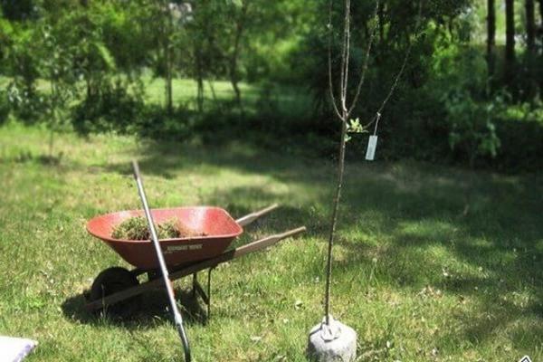 Участок для посадки яблони
