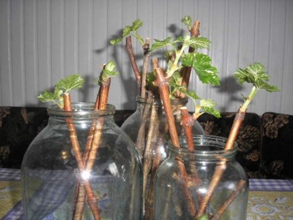 смородина красная ненаглядная размножение черенкованием