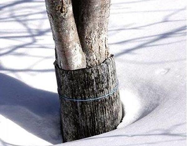 защита яблони зимой
