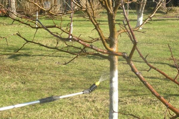 Обработка от вредителей и инфекций яблони