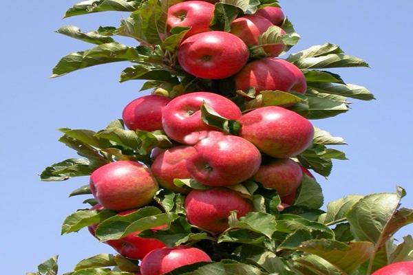 Колоновидная яблоня аркад
