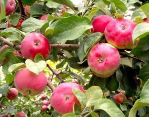 Описание яблони сорта Боровинка, выращивание и уход