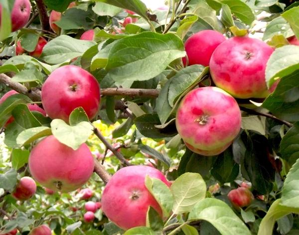 Яблоня Боровинка красная