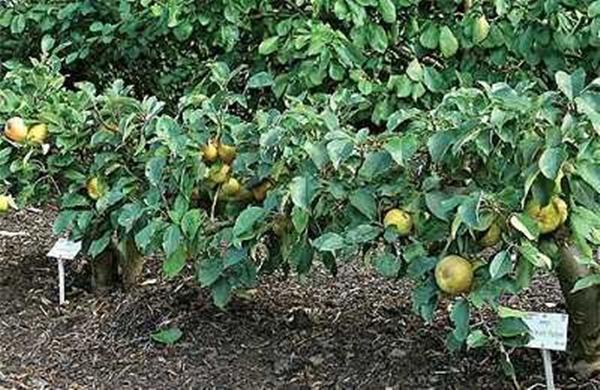 Стелющаяся яблоня в сибири