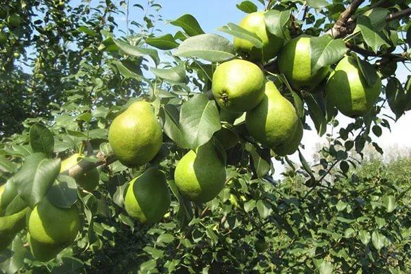 груша Москвичка дерево