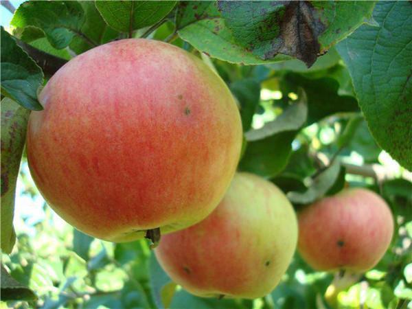 Яблоня Братчуд карликовая