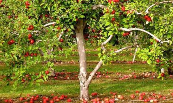 яблоня краса свердловска дерево